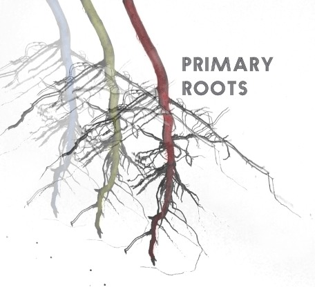 Primary Roots Image copy